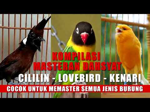 Download Lagu Masteran dahsyat: Kompilasi audio cililin – lovebird – kenari
