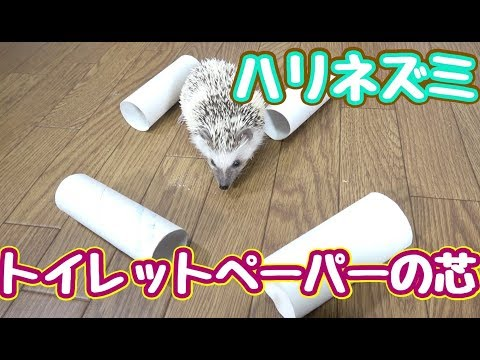 ハリネズミがトイレットペーパーの芯で遊ぶ姿がマジかわいい!