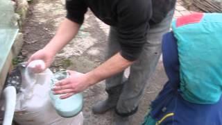Укоренение хризантемы из букета