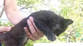 Отдам котенка, котик, окрас черный, возраст 1.5 месяца. Красноярск