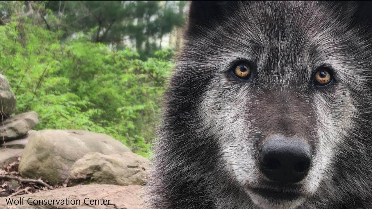 Zephyr the Black Wolf