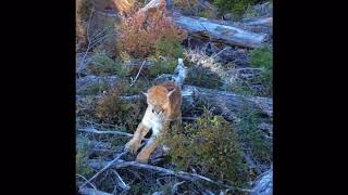 Cougar attack: cougar held off by loyal lab