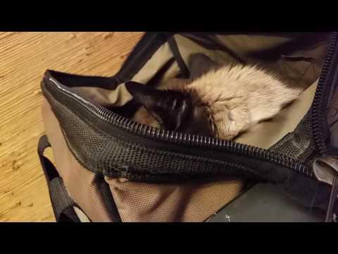 Siamese Cat In A Bag