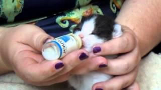 Как кормить котёнка-подкидыша(слепыша)