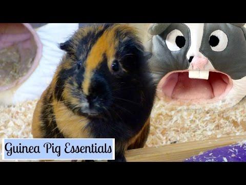 Guinea Pig Essentials