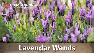 Peaceful Valley's Nursery manager introduces you to types of lavend...