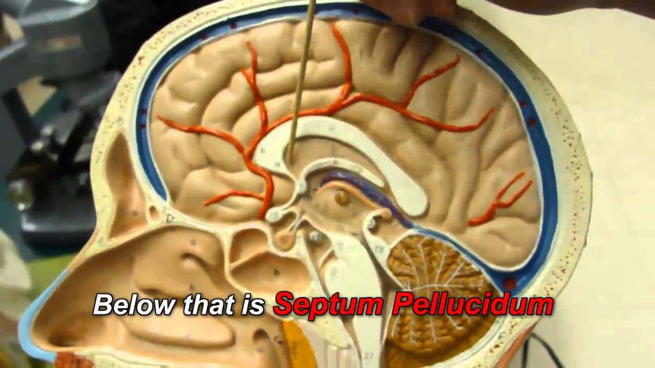 Human Brain Anatomy Youtube