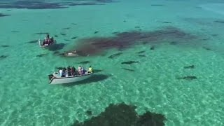 【人喰い被害も】イタチザメがクジラを襲う動画が話題:オーストラリアシャーク湾で撮影 その危険性は?