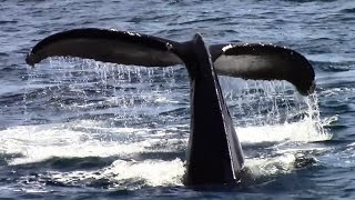 6.21.15 Humpback Whales #Monterey #Adventure #Travel