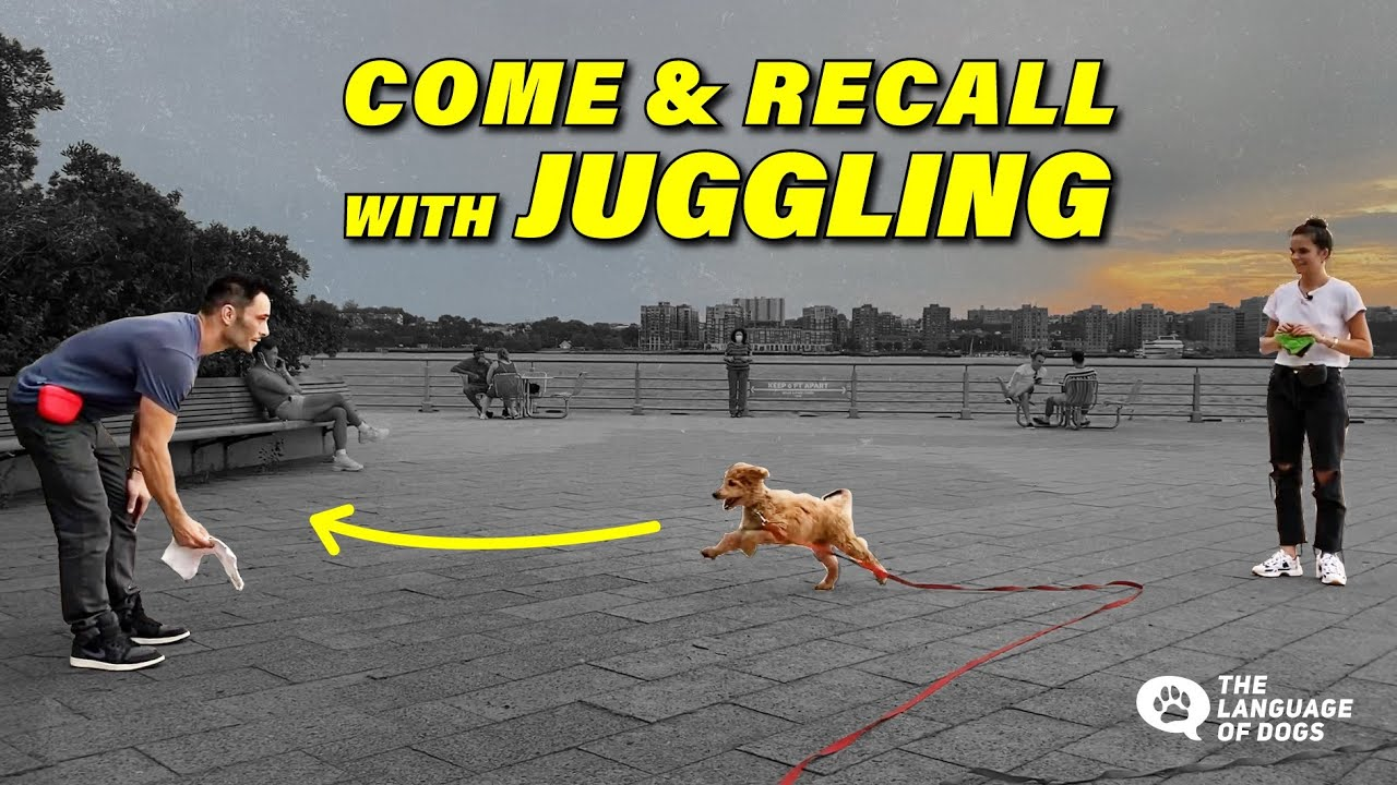 "TEACH COME, RECALLS & ""JUGGLING"" THE BEST WAY/ TUTORIAL W/ DOG EXPERT JUSTIN SILVER"