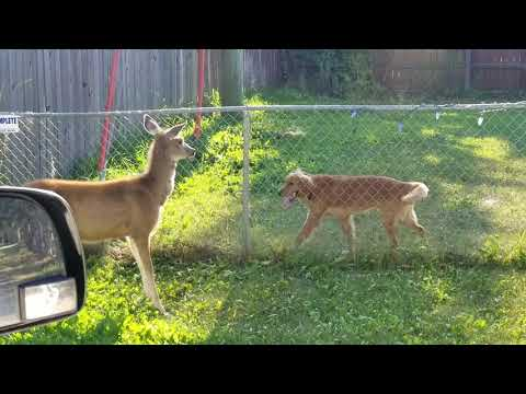 Deer Playing With Dog