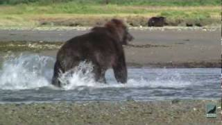 Grizzlies and Wolves, Alaska Bear Viewing Expeditions