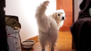 I Left My Cute Golden Retriever Alone with Food: Funny Dog Bailey