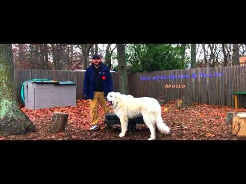 Providence Dog Trainers: Great Pyrenees, Apollo, Off Leash | Best Dog Trainers in RI