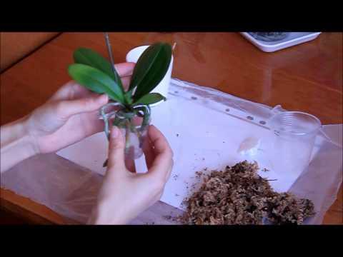 Как правильно ухаживать за орхидеей мини фаленопсис. Пересадка мини.