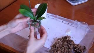 Как правильно ухаживать за орхидеей мини фаленопсис. Пересадка мини.(Пересадка миньки после покупки., 2015-05-05T10:09:57.000Z)