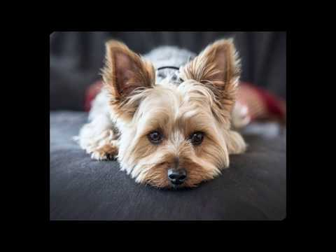 Yorkshire Terrier - small dog breed