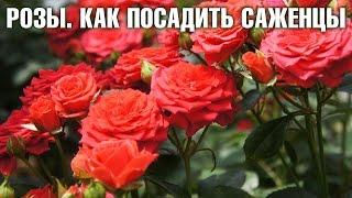Как посадить саженцы роз | Hitsad.ru(Подробнее: http://hitsad.ru/categories/sad-letom Посадка роз дело серьезное. Как выбрать место для посадки. Розы любят солнеч..., 2016-04-25T12:29:24.000Z)