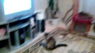 Кошка смотрят телевизор