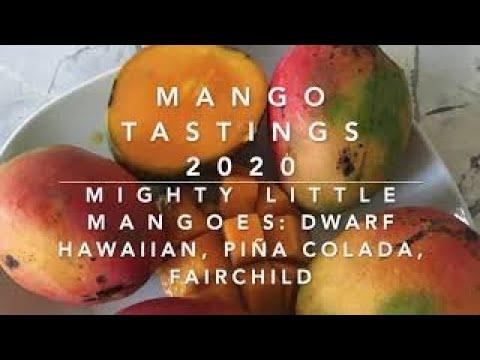 MANGO TASTINGS 2020: MIGHTY LITTLE MANGOES: DWARF HAWAIIAN, PIÑA COLADA, FAIRCHILD +A BONUS STORY!