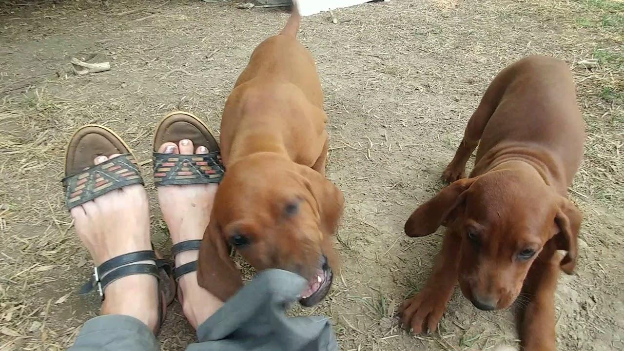 Naughty Redbone Coonhound Puppies Youtube