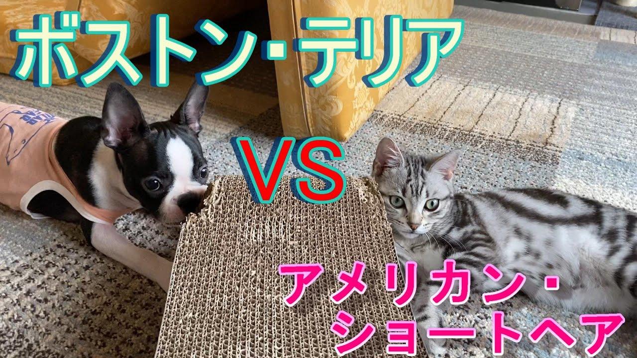 【子犬と子猫】ボストンテリアとアメリカンショートヘアが対峙した。