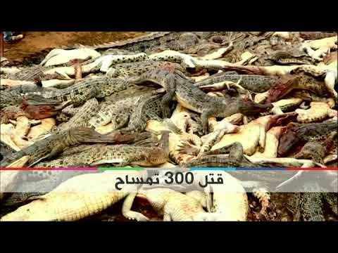 بي_بي_سي_ترندينغ | #بالفديو:قرية في #إندونسيا تنتقم من 300 تمساح  - نشر قبل 2 ساعة
