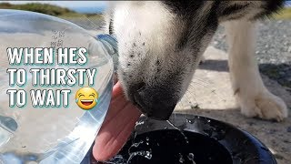 When your dog is so thirsty he cant wait