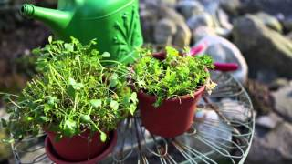 Growing edible ground covers, such as claytonia, in containers
