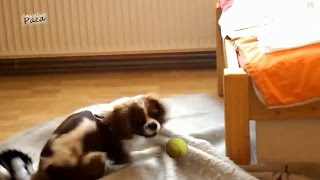 """Cavalier King Charles Spaniel - """"the Bloodthirsty"""" And The Ball Game - [paca]"""