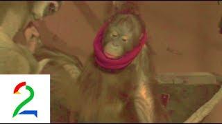 Organgutangen Nala stjeler pannebånd og kamrea. Orangutan steals headbands.