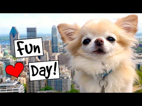 Cute Puppy Size Chihuahua's fun day at Mount Royal in Montreal