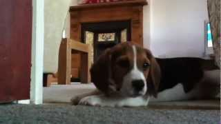 Beagle Puppy Howling And Playing
