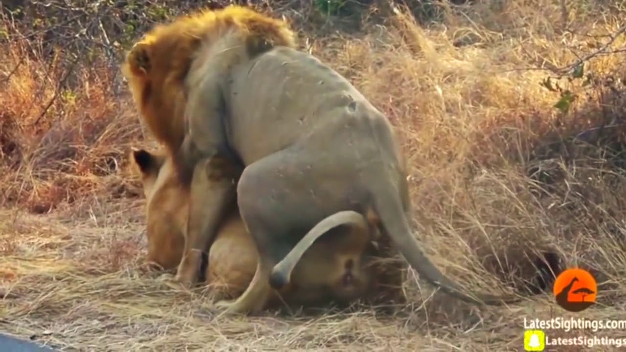 Amazing Lion Making Love In Nature  Wild Nature And -9344