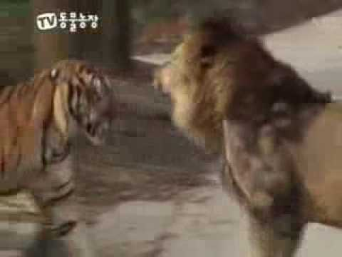 Lion vs Tiger : Royal Conflict