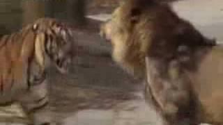 lion vs tiger royal conflict