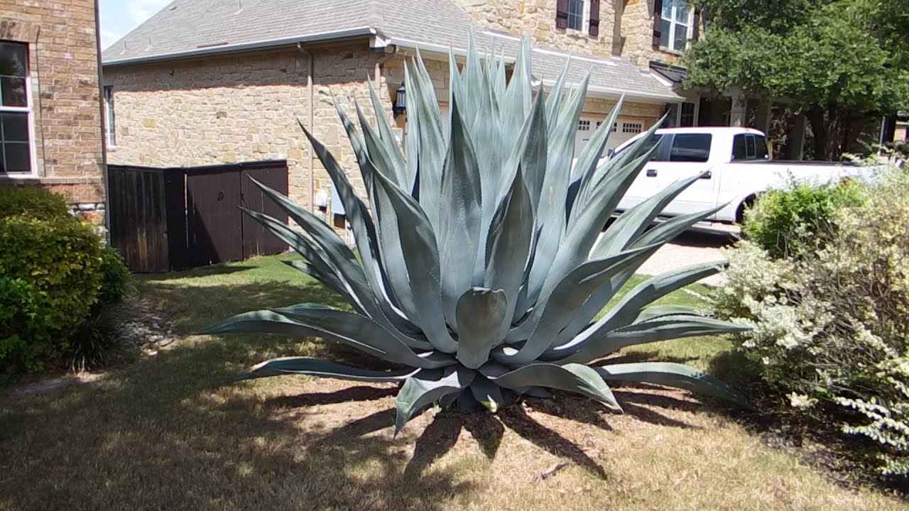 How To Care For An Agave Plant And Help It Grow Huge Youtube