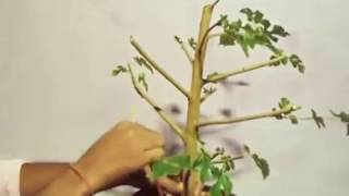 How to Grow Mulberry tree From Air layering with Update (Hindi)