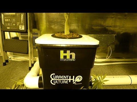 Dwc Water Change In Depth - Hygrohybrid