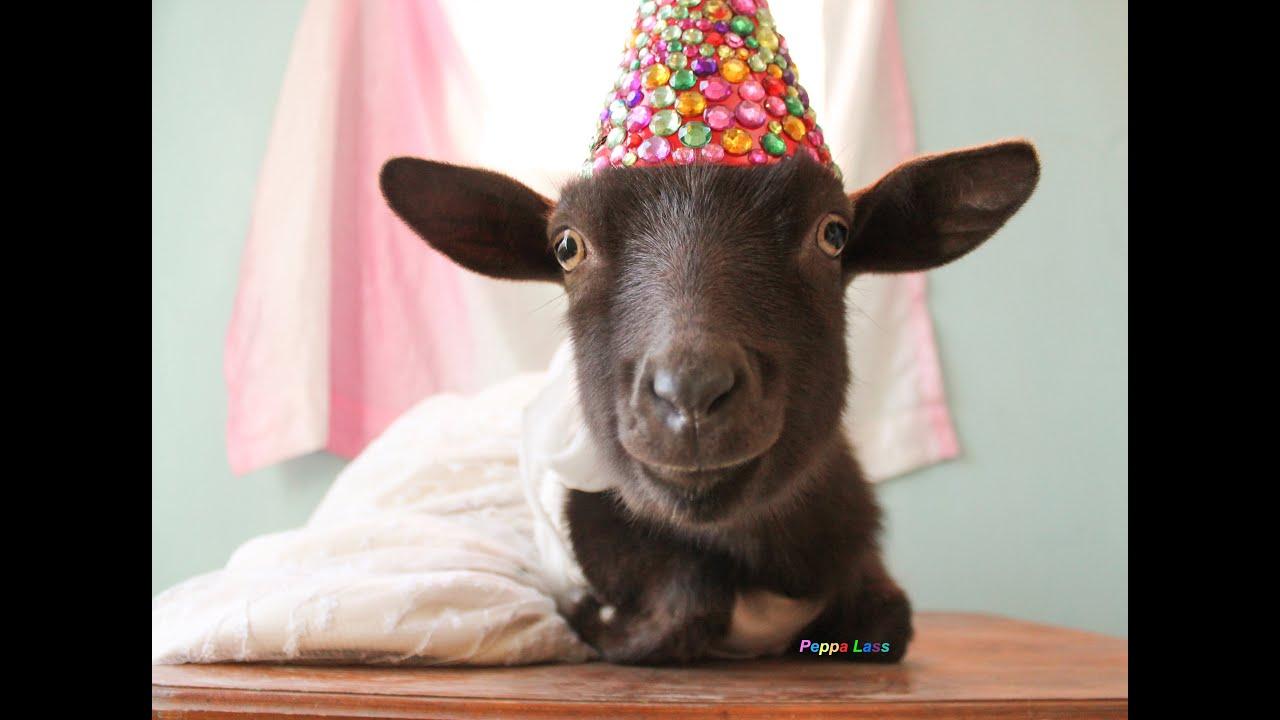 Goat S Birthday Youtube