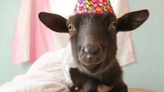 Goat's Birthday