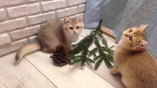 Британский котенок  голубая золотая шиншилла