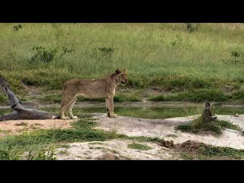 Djuma Private Game Reserve Live Stream: lone sub-adult lion