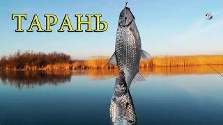 ТАРАНЬ- на канале. Fish sea roach. Рыбалка. Ловля тарани на донку. fishing.