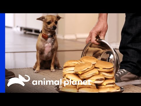 Can This Newly-Trained Pup Resist Her Favorite Treats? Even A Huge Plate Of Cheeseburgers??