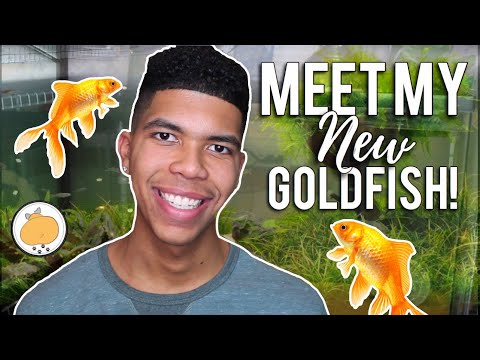 MEET MY NEW Fantail Goldfish! 🐟 | Meet My Pets | Goldfish Care