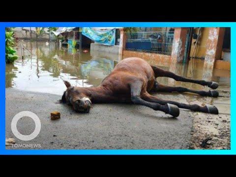 Kuda mati setelah lewati banjir Jakarta; Wajah wanita bengkak karena alergi cat rambut - TomoNews