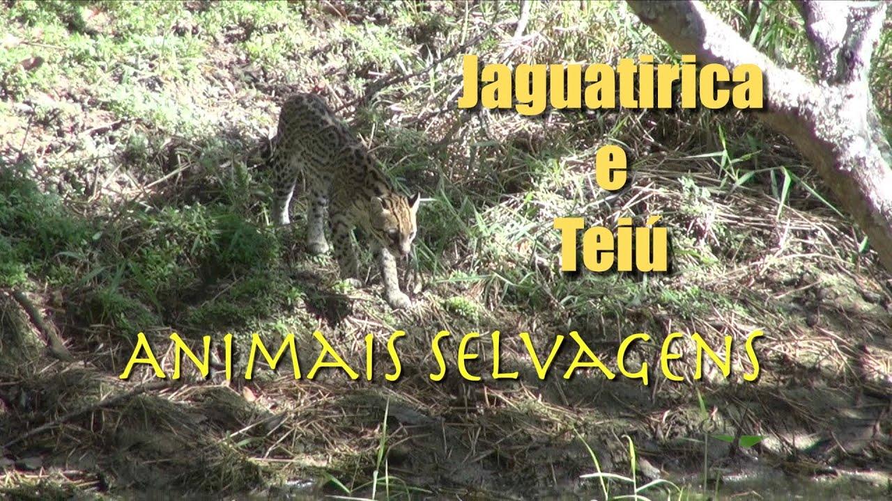 Jaguatirica e Teiú - Animais Silvestres