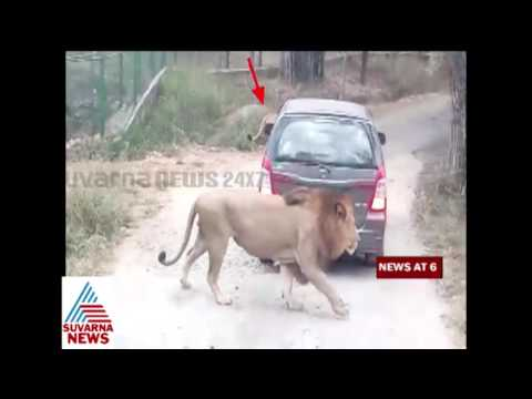 Shocking Video Lion attack at Bangalore Bannerghatta National Park