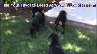 Doberman Pinscher, Puppies, For, Sale, In, Newark, New Jersey, Nj, Woodbridge, Iselin, Pleasantville